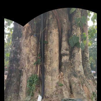 菩提树-三维模型